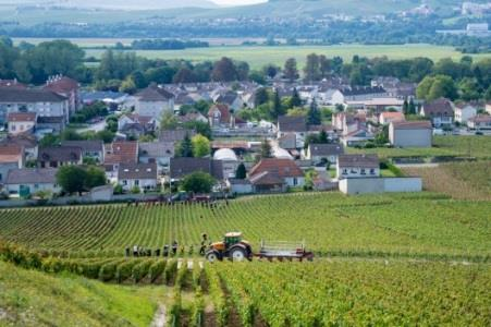 Champagne Deutz  2014 Harvest Report2